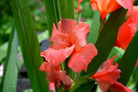 Gladiolus. Nice flowers in the garden in midsummer, in a sunny day. Green landscape Reklamní fotografie