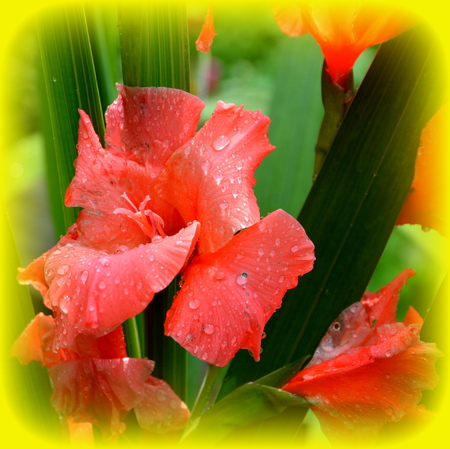 Gladiolus.  Nice flowers in the garden in midsummer, in a sunny day. Green landscape Stock Photo