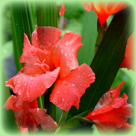 Gladiolus.  Nice flowers in the garden in midsummer, in a sunny day. Green landscape Reklamní fotografie - 105954213