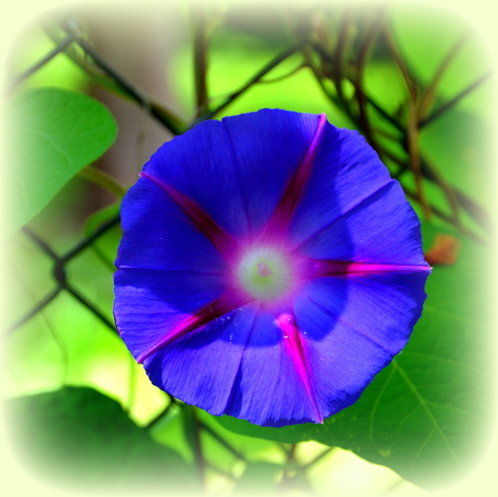 Morning Glory.  Nice flowers in the garden in midsummer, in a sunny day. Green landscape