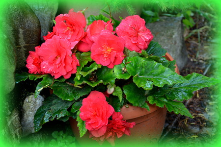 Begonia. Nice flowers in the garden in midsummer, in a sunny day. Green landscape Reklamní fotografie