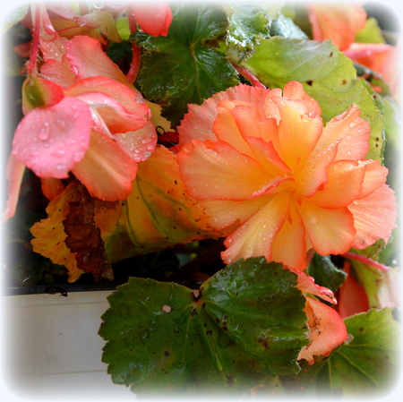 Begonia. Nice flowers in the garden in midsummer, in a sunny day. Green landscape Stock fotó