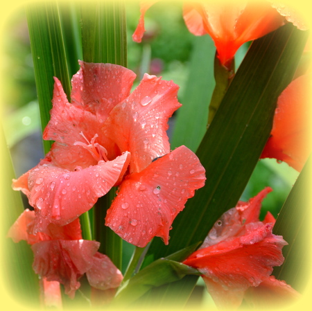 Gladiolus.Nice flowers in the garden in midsummer, in a sunny day. Green landscape