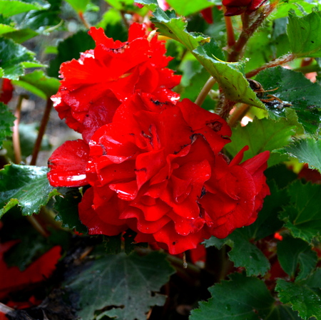 Begonia.   Nice flowers in the garden in midsummer, in a sunny day. Green landscape