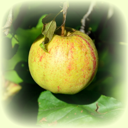 Fruit madness. Small apples in an apple tree in orchard, in early summer Stok Fotoğraf