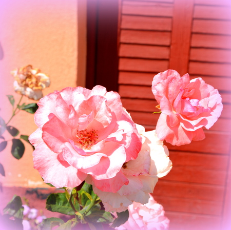 Roses. Nice flowers in the garden in midsummer, in a sunny day. Green landscape