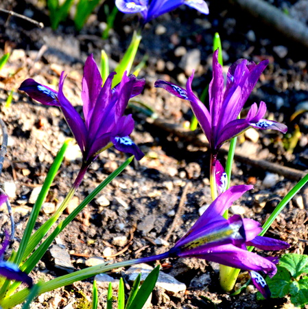 Crocus. Nice flowers in the garden in midsummer, in a sunny day. Green landscape.
