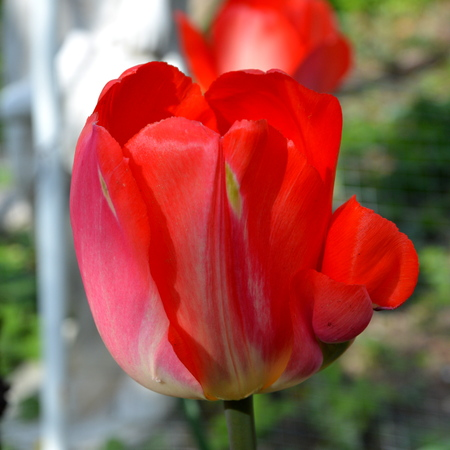 Tulip. Nice flowers in the garden in midsummer, in a sunny day. Green landscape.