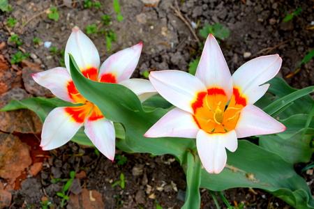 Tulip. Nice flowers in the garden in midsummer, in a sunny day. Green landscape. Reklamní fotografie