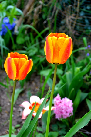 Tulips. Nice flowers in the garden in midsummer, in a sunny day. Green landscape.