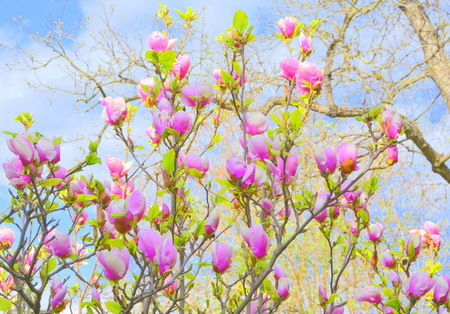 Magnolia. Nice flowers in the garden in midsummer, in a sunny day. Green landscape. Reklamní fotografie - 122272547