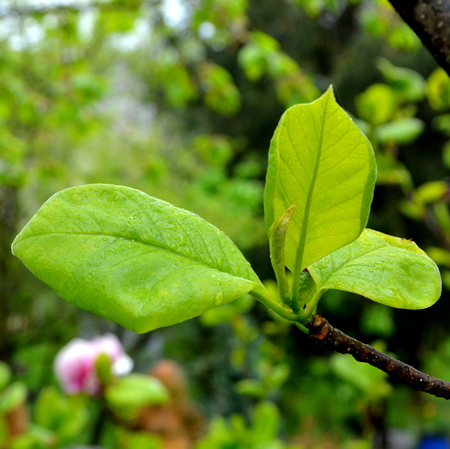 Apple tree. Nice flowers in the garden in midsummer, in a sunny day. Green landscape.