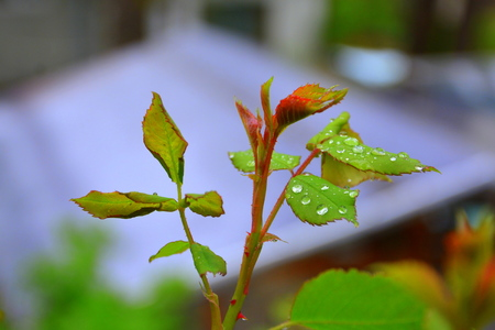 Rose in spring. Nice flowers in the garden in midsummer, in a sunny day. Green landscape.