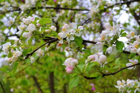 Apple flowers.  Nice flowers in the garden in midsummer, in a sunny day. Green landscape