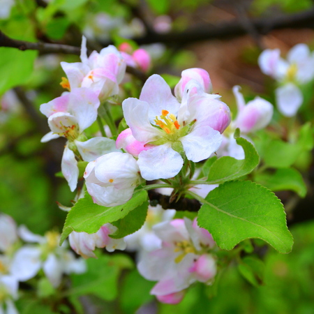 Apple flowers. Nice flowers in the garden in midsummer, in a sunny day. Green landscape