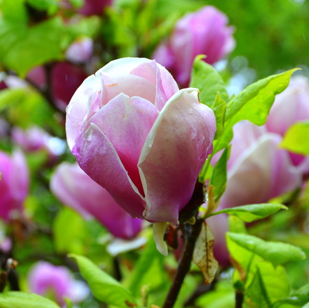 Magnolia and water drops. Nice flowers in the garden in spring, in a rainy day. Green landscape.