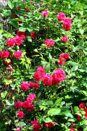 Nice flowers in the garden in midsummer, in a sunny day. Green landscapetu