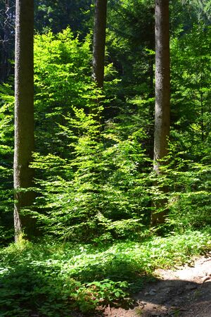 Typical landscape in the forests of Transylvania, Romania. Green landscape in the midsummer, in a sunny day 版權商用圖片