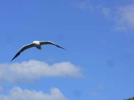 outspread: Seagull Stock Photo