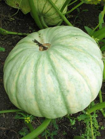 a pumpkin photo