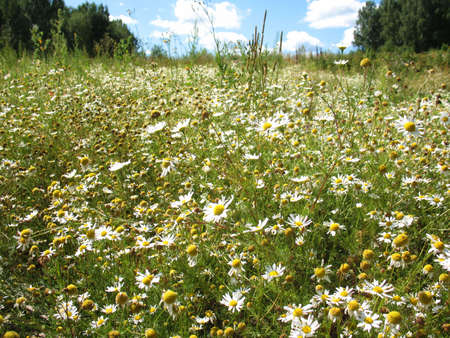 camomile field photo