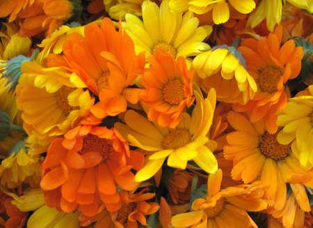 calendula flowers photo