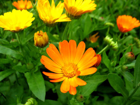 This is summer  blissoming of  calendula (marigold) flowers                             photo