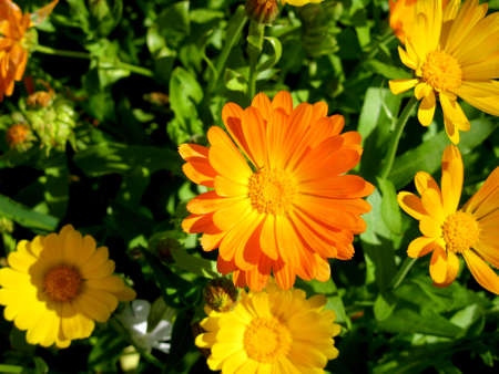 This is summer  blissoming of  calendula (marigold) flowers                             Reklamní fotografie