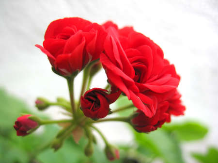 This is bush of a red rose geranium photo