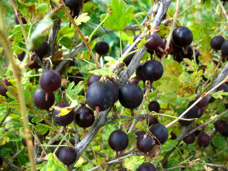 gooseberry bush: There are bush of gooseberries and black berries Stock Photo