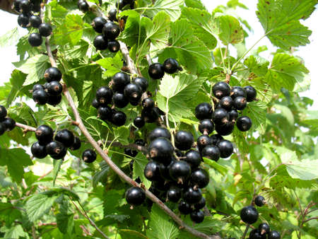 There are bush of currant and black berries Reklamní fotografie