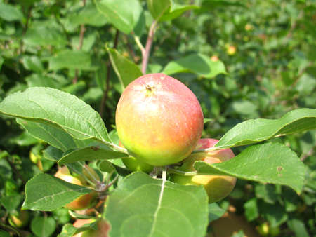 There are apple tree and apples photo