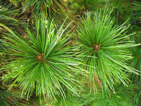 firry: This is green  branch of fir. Close up Stock Photo