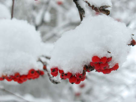 service tree: There are service tree and snowcovered red berries