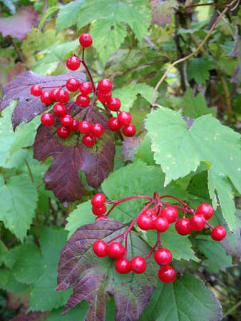 guelder rose berry: red berries of snowball tree
