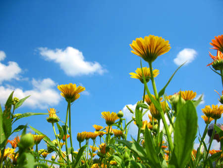 This is summer  blossoming of  calendula  marigold  flowers                             Stock Photo - 16823820