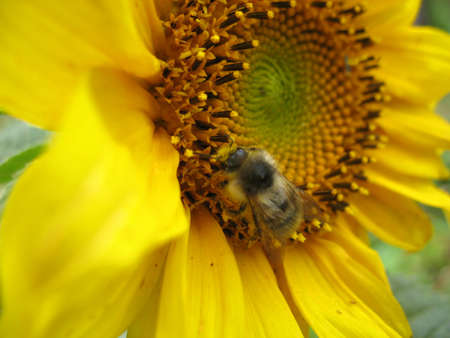 Summer  blossoming of  sunflower  and bee. Closeup photo