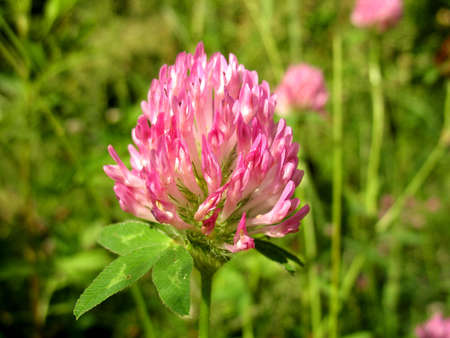 There are red flowers  clover  and green grass Stock Photo - 17126698