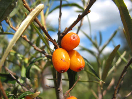 seabuckthorn: There are sea-buckthorn tree and orange berries