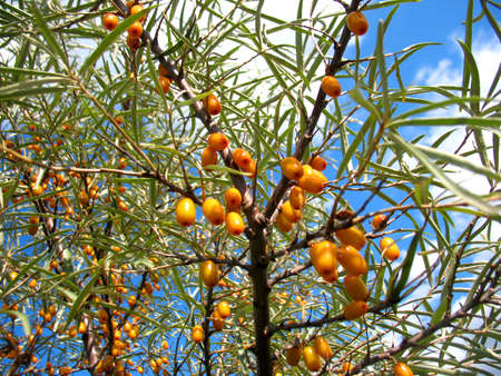 There are sea-buckthorn tree and orange berries photo