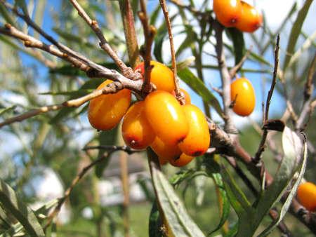 argousier: Il ya d'argousier arbres et orange baies Banque d'images