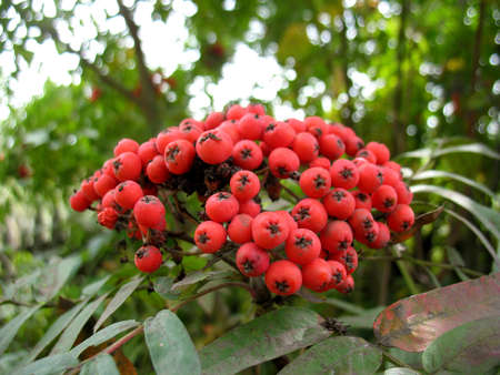 service tree: There are service tree and red berries
