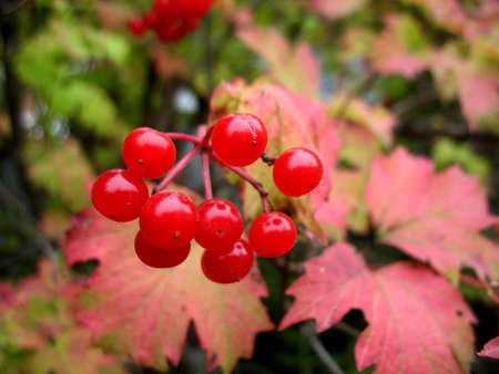 guelder rose berry: There are snowball tree and red berries