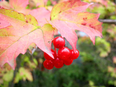 guelder rose berry: There are snowball tree and red  berries Stock Photo