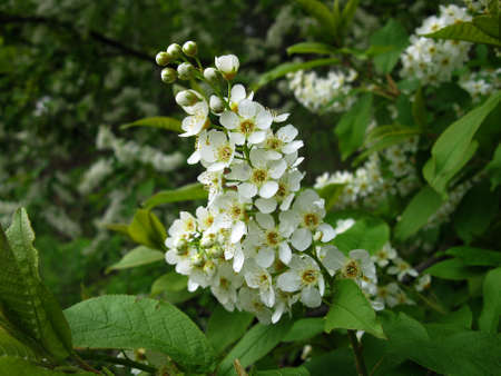 There are branch of bird cherry tree and white blossoming photo