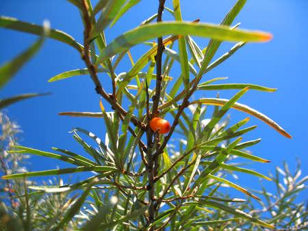 argousier: Il ya baies d'argousier arbres et orange