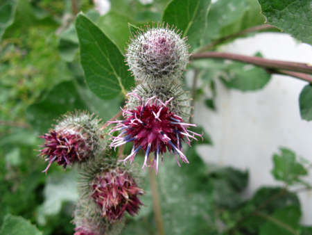 burdock: Thiere are burdock and  green grass