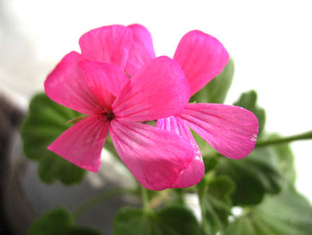 beatuful: There are pink flowers of geranium  and green grass Stock Photo