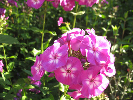 beatuful: There are pink flowers (phlox) and green grass Stock Photo