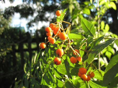 service tree: There are  orange  berries of ashberry. Closeup.
